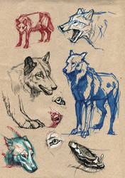 Wolf study II by wolf-minori