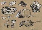 Opossum - 100animals100days