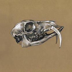 Siberian musk deer skull study