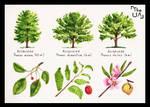 Tree Study - Broad Leaved 17
