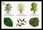 Tree Study - Broad Leaved 21