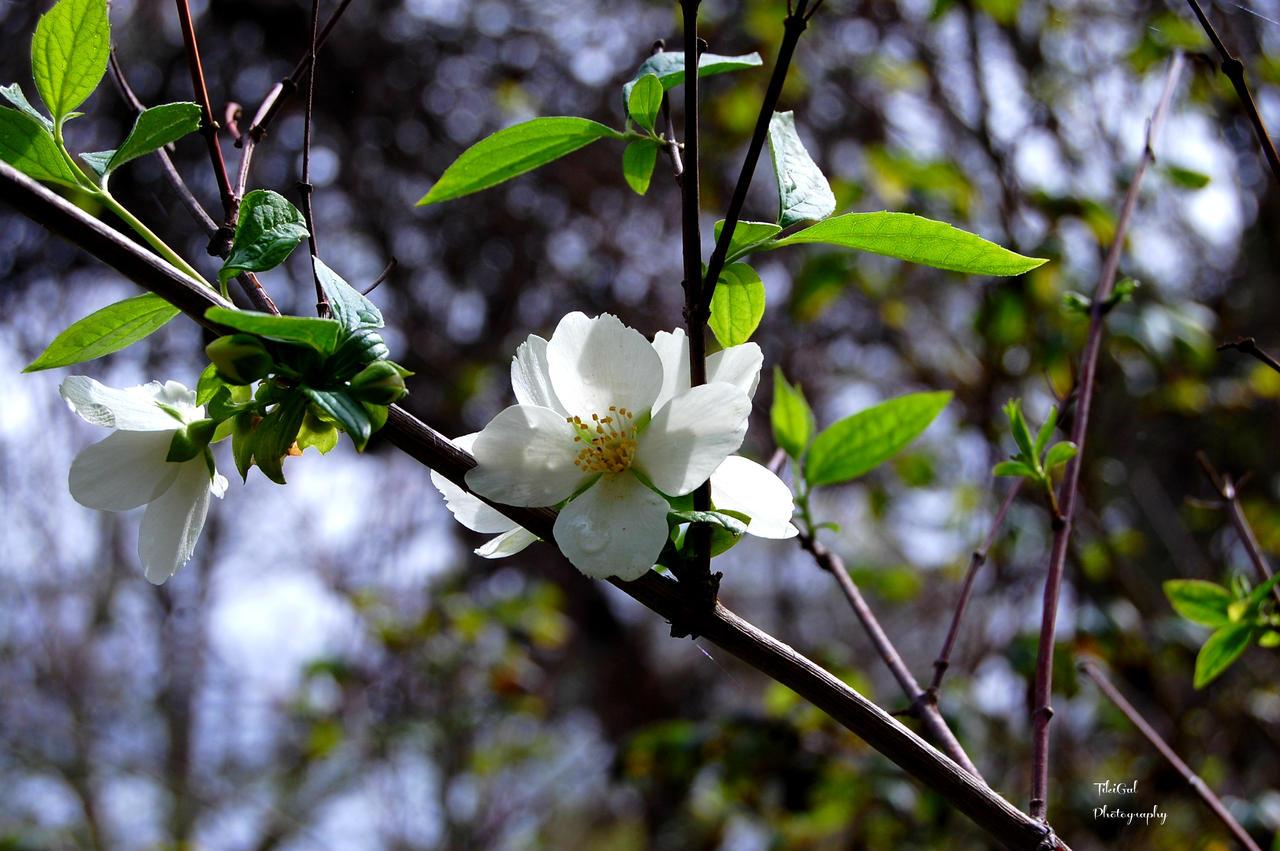 White Flower Tree by atomicranchgal on DeviantArt