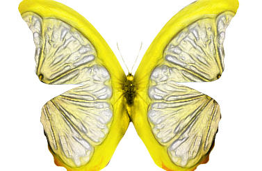 Lemon Butterfly by the-ox