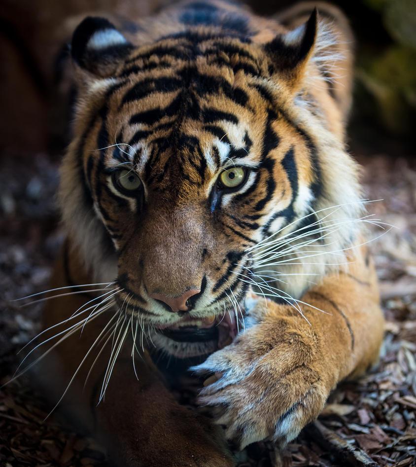 Tiger Eyes by jbrum