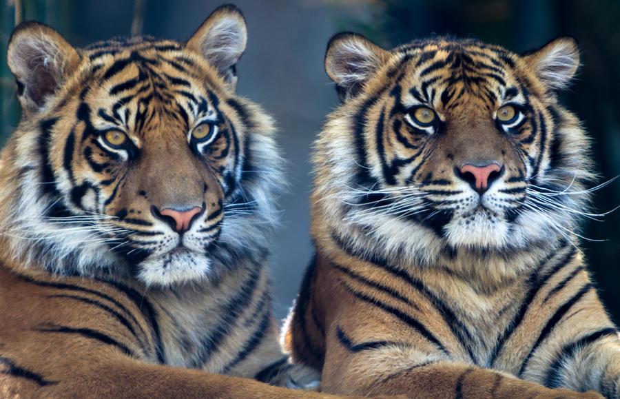 Sumatran Siblings by jbrum