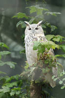 Pale Eurasian Eagle Owl by AngelEowyn