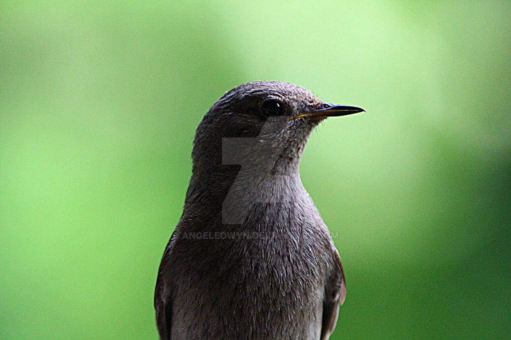 Black Redstart 5940 by AngelEowyn