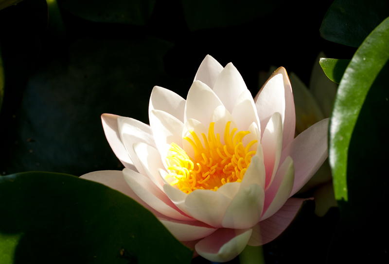 water lilly7 by GerbenT