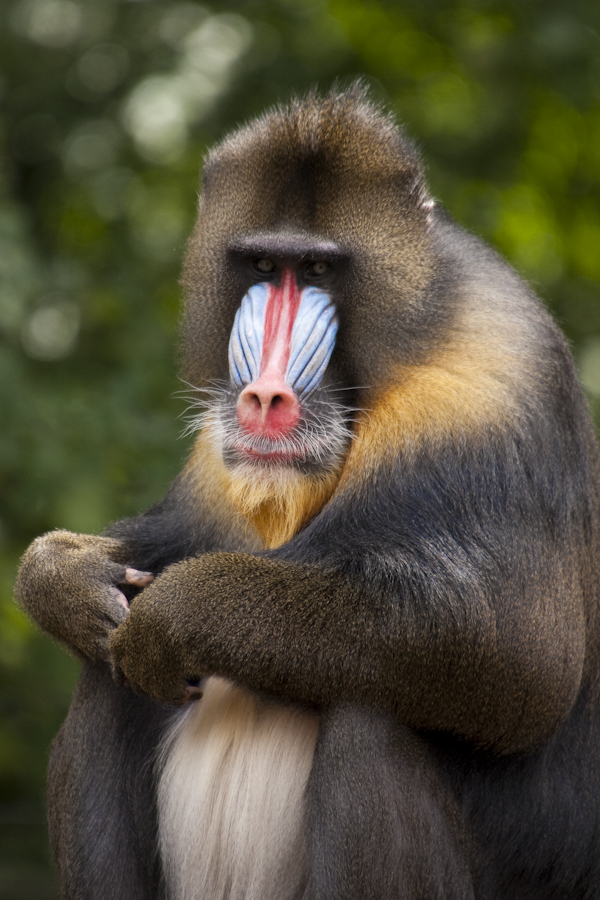 The mandrill by GerbenT