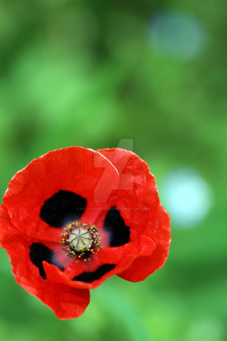 Poppy love by Gothic-Dreamscapes on DeviantArt