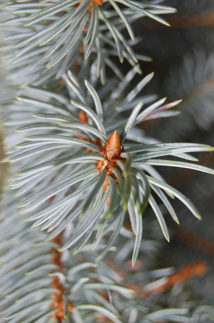 fir branch by F3ras