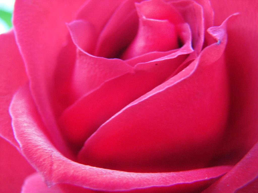 Rosa by elahuehuete
