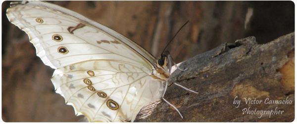 Mariposa Blanca by elahuehuete
