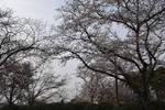 Gloomy Cherry Trees