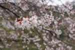 Simple Cherry Blossom