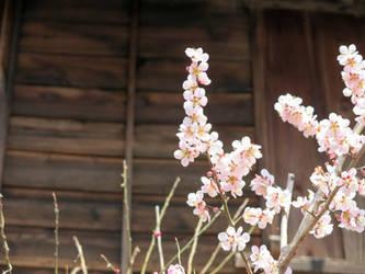 Sakura by pbakaus