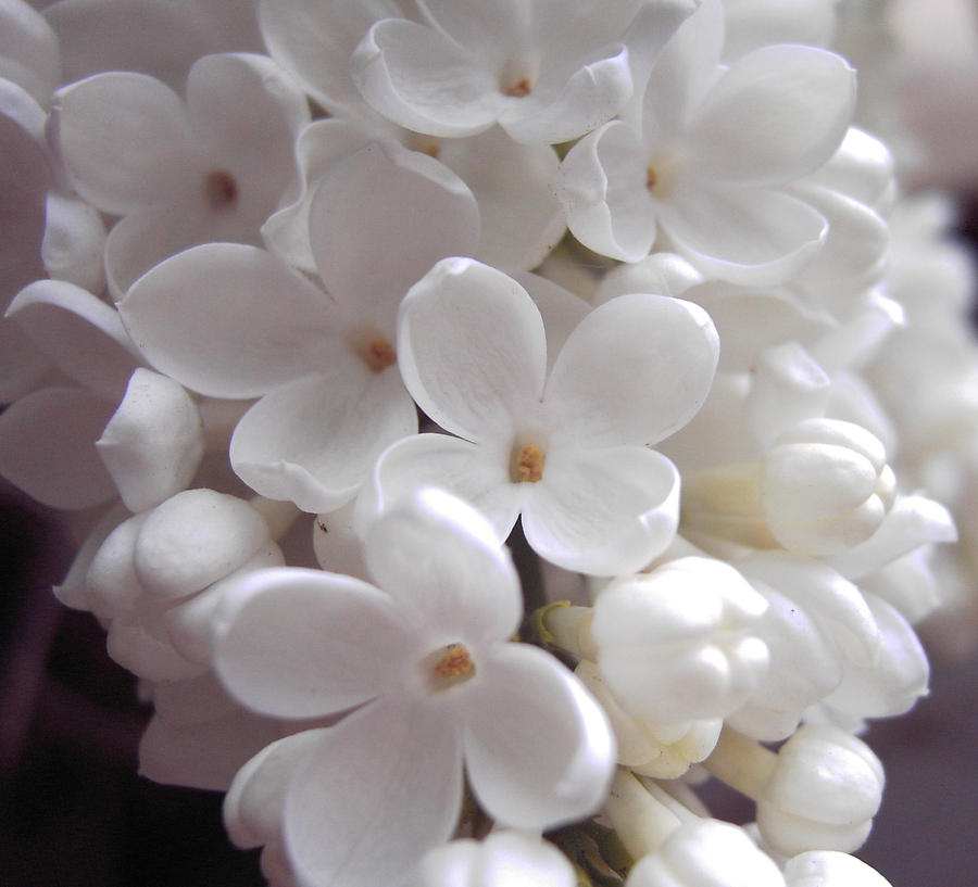 White lilac close up by ivy juniper on deviantart white lilac close up by ivy juniper mightylinksfo