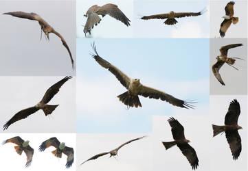 Birds of Prey - flight STOCK