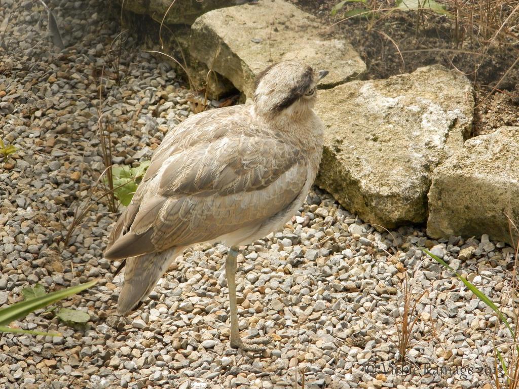 Bird Similar Curlew Canary Islands