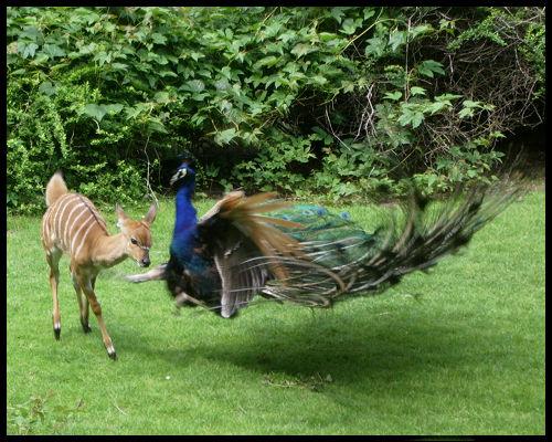 when peacocks attack