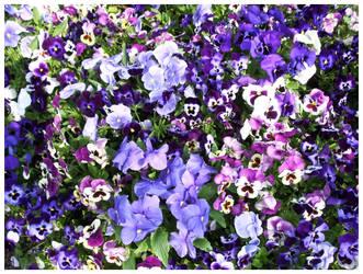 a sea of purple