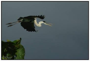 Heron Cocoi by Fibo22