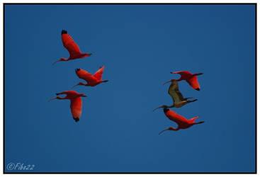 Ibis rouge - 2 by Fibo22