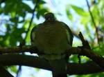 Pigeon Warboss XD