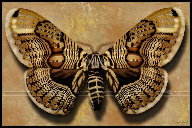 Brahmin Moth by Nameda