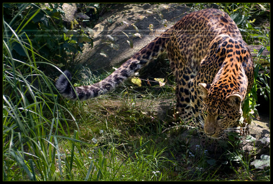 On the prowl by Nameda