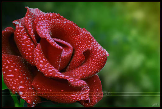 Candy coated rose