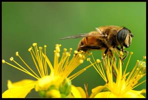 Happy Hoverfly