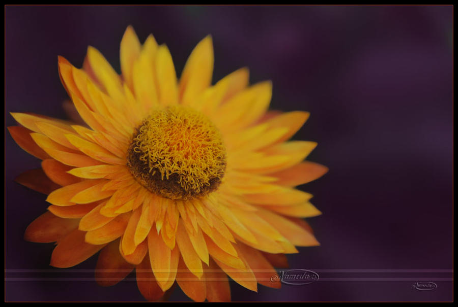 Golden Sun in the Shades by Nameda
