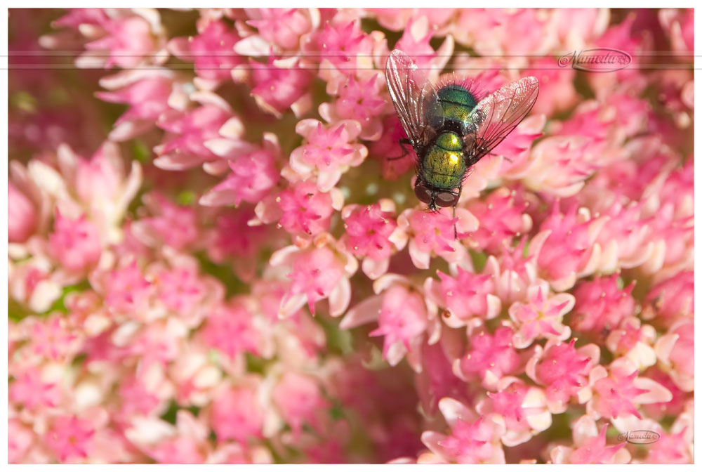 Iridescent on pink by Nameda