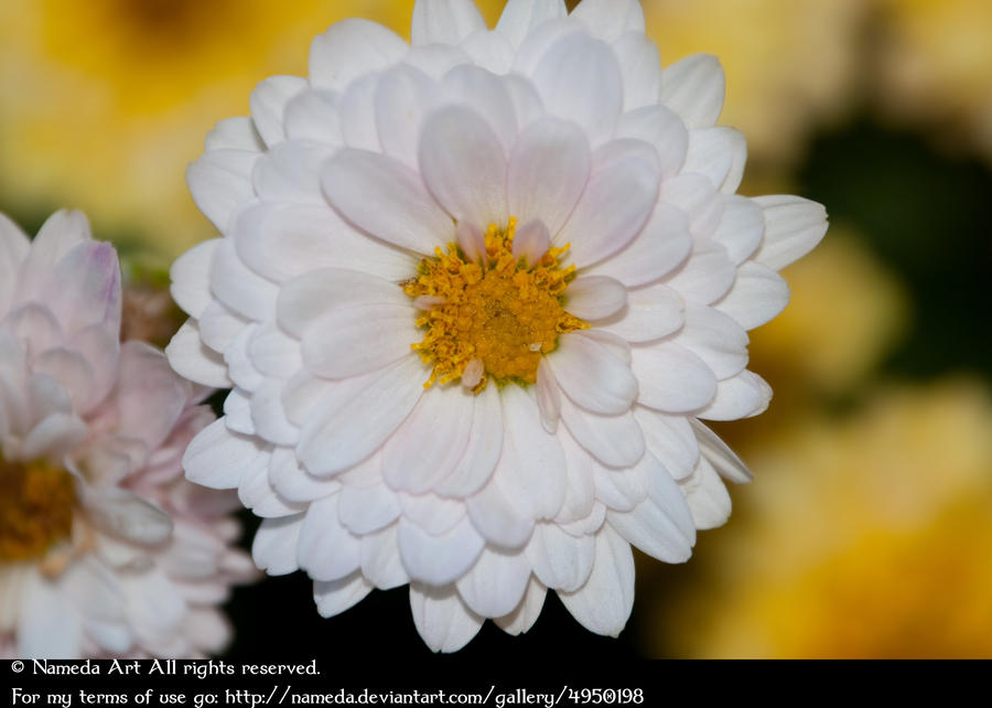 White & Yellow Dahlia Stock by Nameda by Nameda