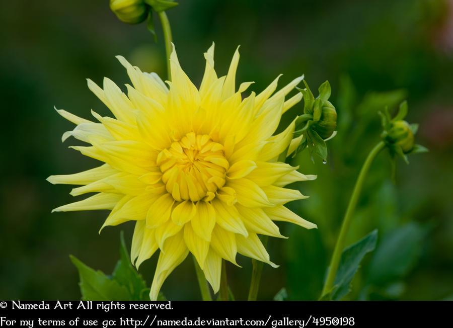 Yellow chrysanthemum stock by Nameda by Nameda