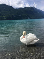 Swan by Lake by Arkaiii