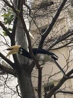 Hornbill by Arkaiii