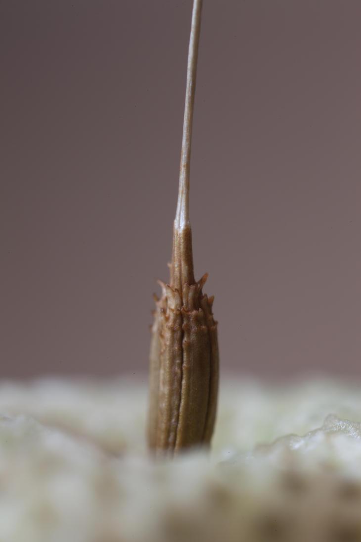 Macro of a dandelion-seed by JoergJohannMueller