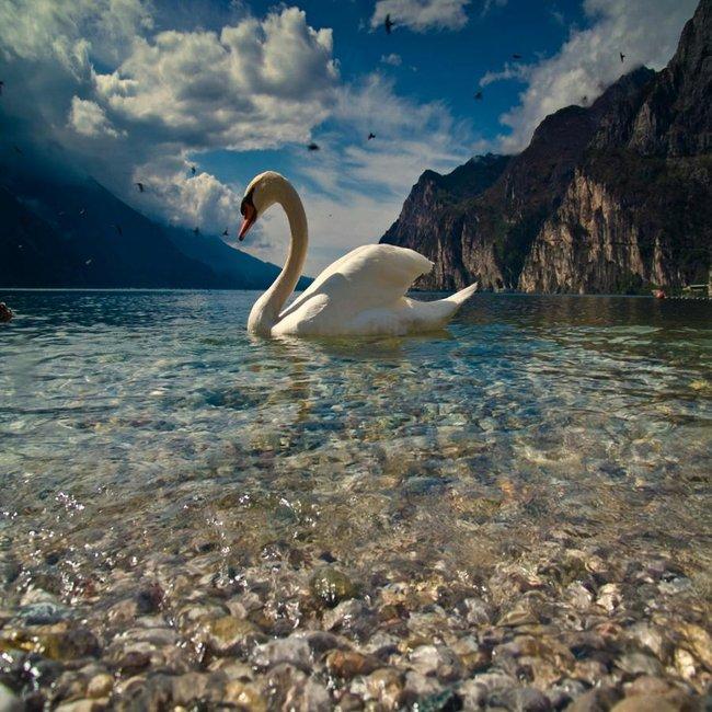 Cisne. by Dreamer1428