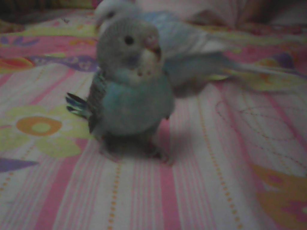 blue parakeet bird budgie by actionpenga on deviantart