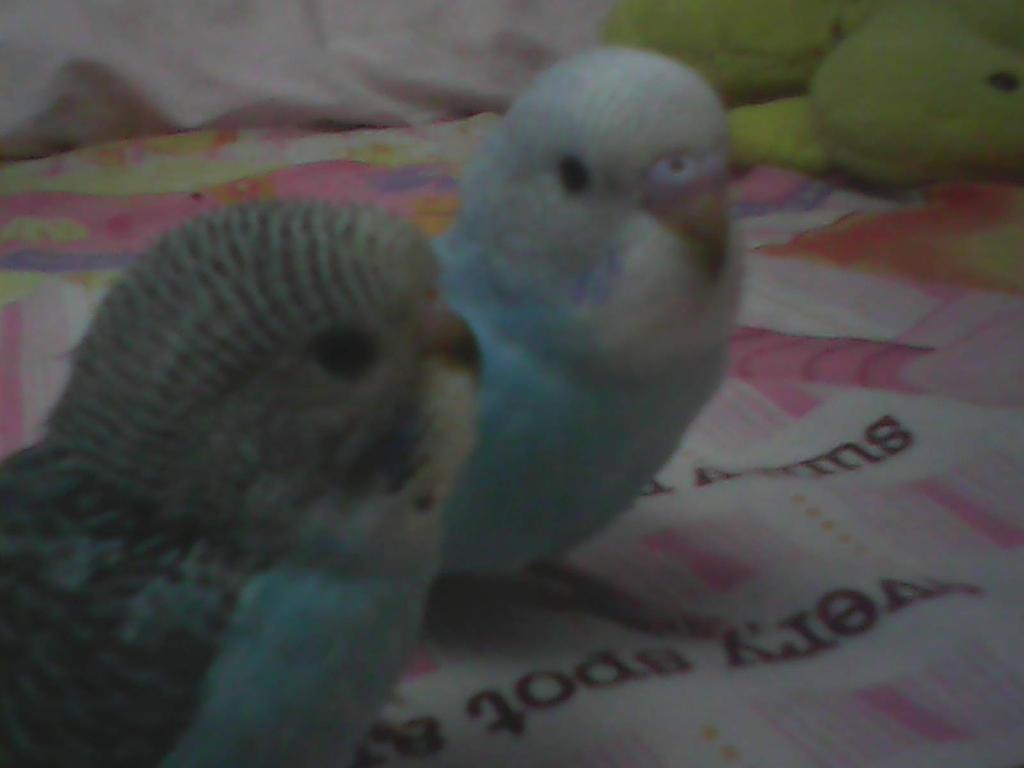 White Baby Parakeet Two  baby  parakeet birds