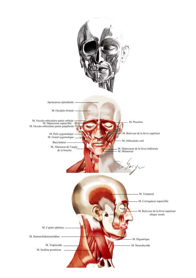 Anatomie - Visage by TheSeryne on DeviantArt