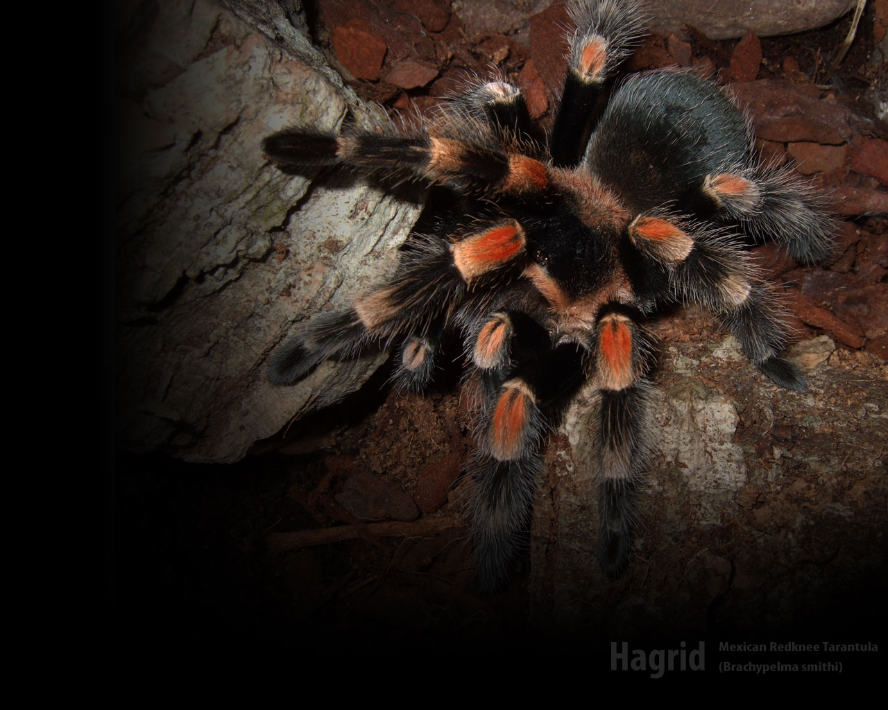 Mexican Red Knee by rdl1