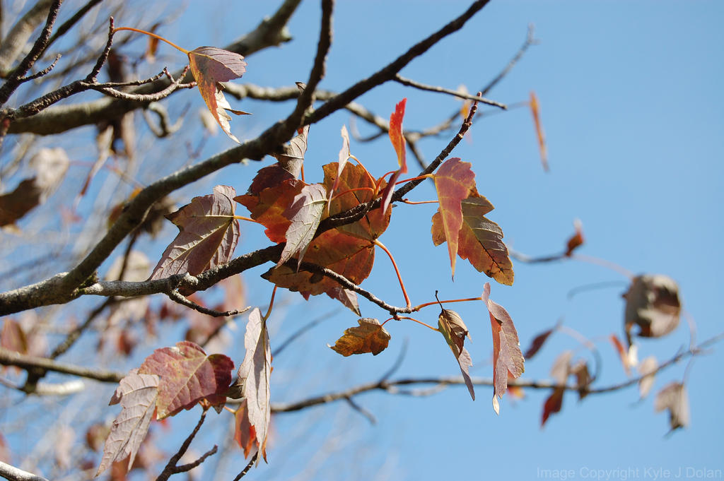 Maples Leaves by Focus-Fire
