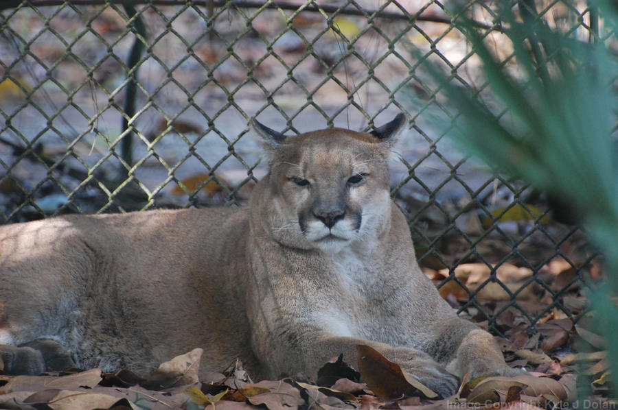 Florida Panther by Focus-Fire
