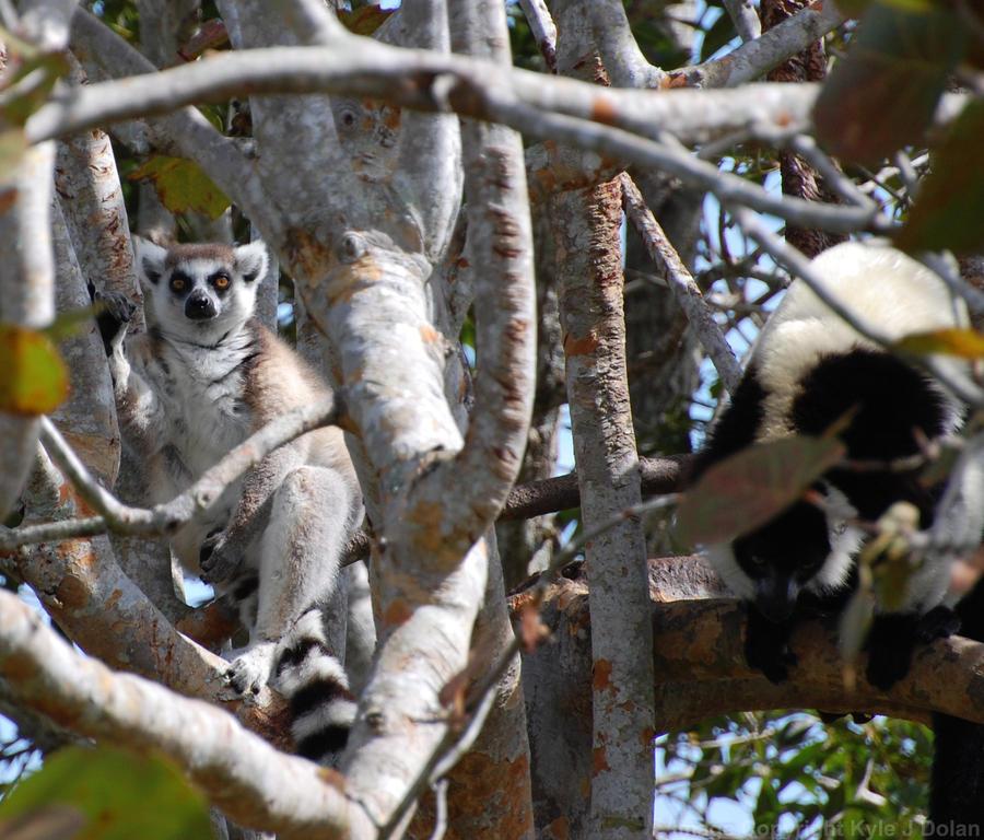Lemurs by Focus-Fire