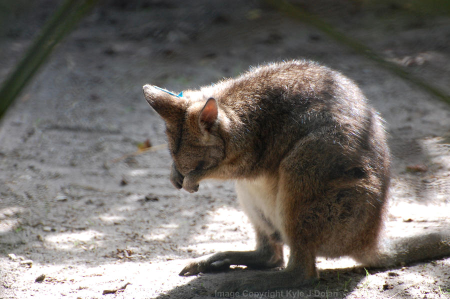 Wallaby by Focus-Fire