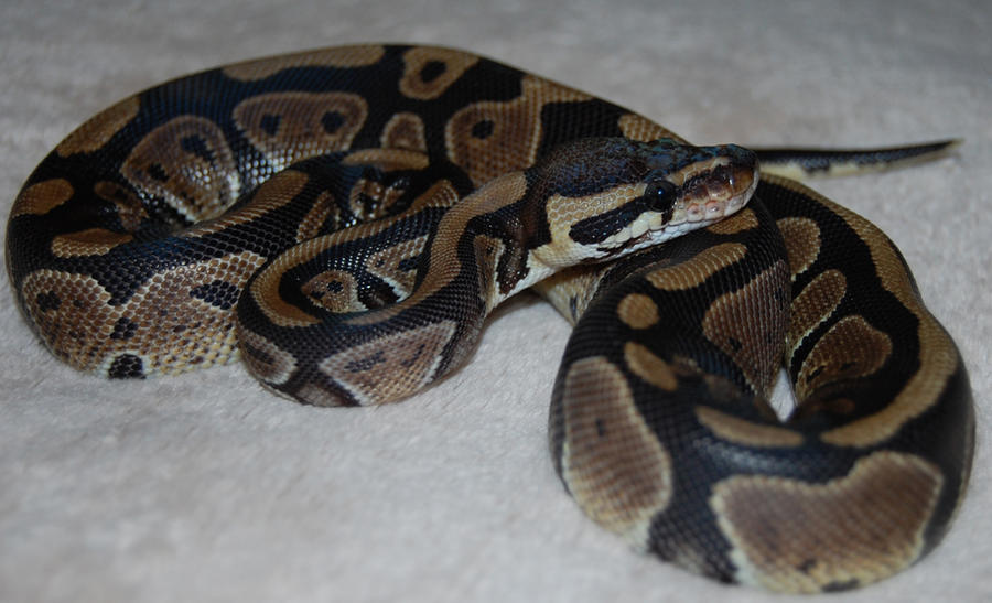 Ball Python Posing by Focus-Fire
