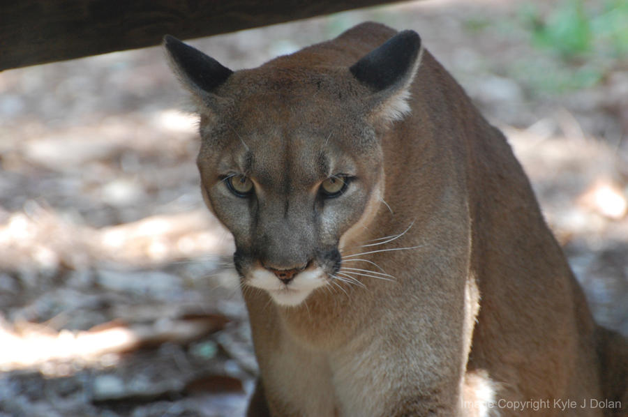 Florida Panther Stare by Focus-Fire